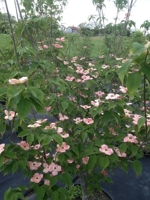 Cornus X Rutgan Stellar Pink Dogwood From Winfall Nurseries