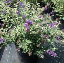 Buddleia 'Blue Heaven'