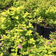 Spiraea japonica 'Lemon Princess'