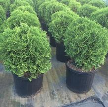 Thuja occidentalis 'Tom Thumb'