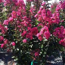 Lagerstroemia indica 'Pink Velour'
