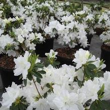 Azalea x 'Delaware Valley White'
