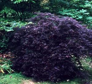 Acer palmatum var. dissectum 'Crimson Queen' - Japanese Maple